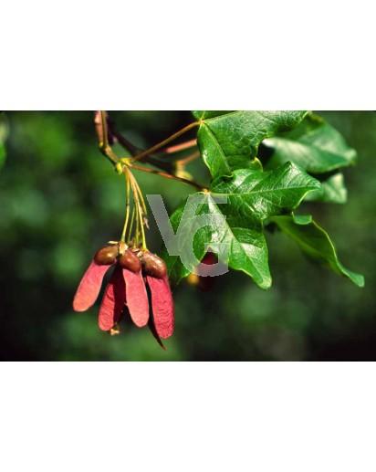 Acer mompesolanum