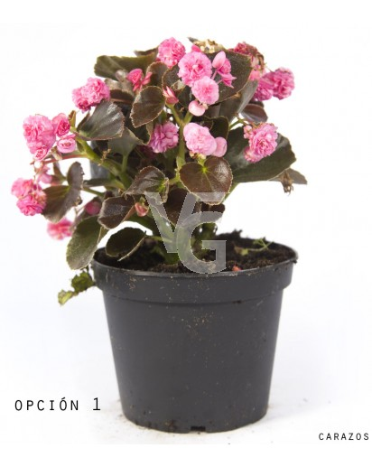 Begonia Semperflorens Doble