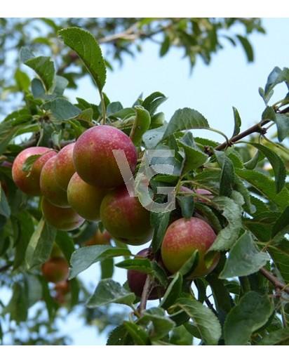 """Ciruelo """"Prunus domestica"""""""