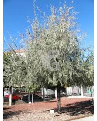 eleagnus angustifolia(arbol del paraiso)