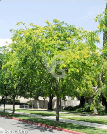 gleditsia triacanthus inermis(acacia de tres espinas)