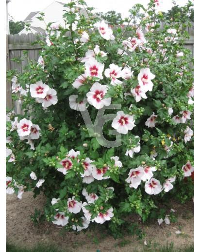hibiscus syriacus (althea)