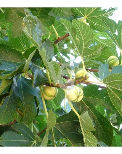 "Higuera ""Ficus carica"""
