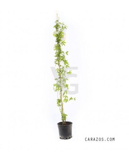 Passiflora (Pasionaría)