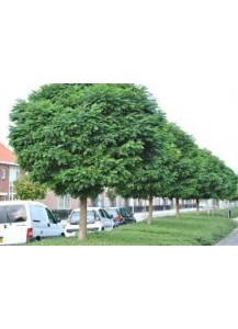 robinia umbraculifera(acacia de bola)