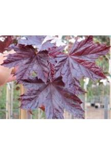 "Acer platanoides""Crimson King""(hoja roja)"