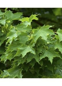 Acer pseudoplatanus (Falso plátano)