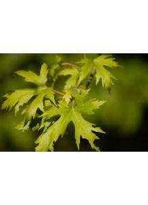 Acer saccharinum(arce plateado)