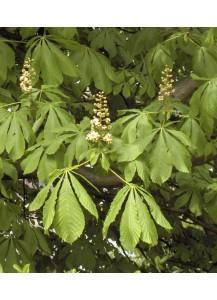 Aesculus hippocastanum (Castaño de Indias)