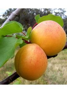 """Albaricoquero """"Prunus armeniaca"""""""