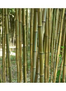 Bambu aurea y nigra extras