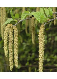 Betula alba Verrucosa(Abedul)