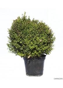 "Buxus Rotundifolia ""Bola"""