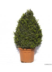 """Buxus Rotundifolia """"Piramidal"""""""