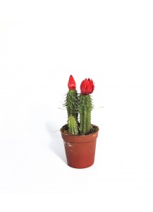 Cactus Bandeja 20 Ud. Flor