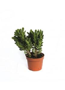 Cactus Crásula Hobbid