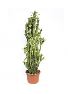 Cactus Euphorbia Trigona