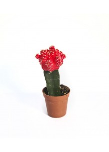 Cactus Injerto