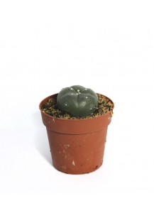 Cactus Peyote