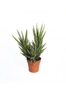 Cactus Sanseviera