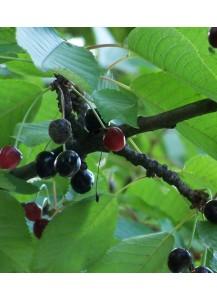 """Cerezo """"Prunus avium"""""""