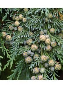 """Chamaecyparis lawsoniana """"Pemburry Blue"""""""
