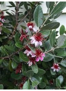 feijoa sellowiana