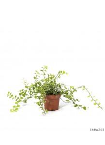 Ficus Pumila Sunny y Repens