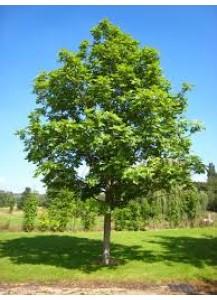 fraxinus excelsior(fresno)