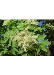 fraxinus ornus (fresno de flor)
