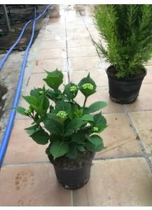Hydrangea macrophylla(Hortensia)