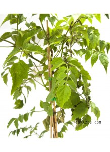 Jasminum nudiflorum(amarillo) (Jazmín)