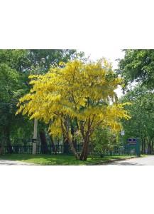 Laburnum anagyroides(lluvia dorada)