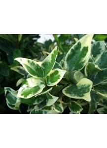 ligustrum japonica variegata
