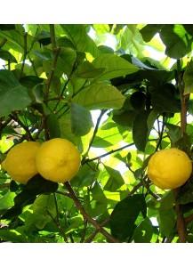 Limonero (Cítricos)