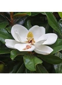magnolia grnadiflora