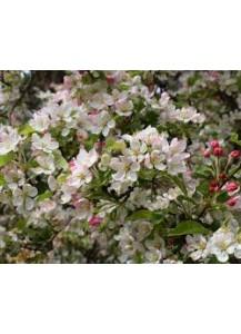 malus floribunda (manzano de flor)