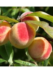 """Melocotonero """"Prunus persica"""""""