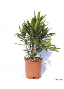 """Nerium Oleander """"Adelfa"""""""