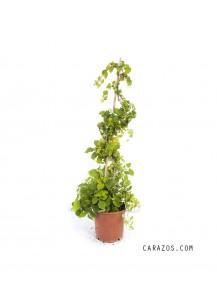 Parthenocissus quinquefolia (Parra Virgen)
