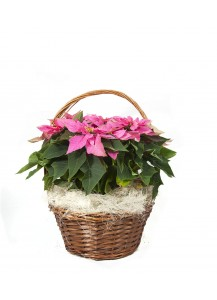 Cesta de Flor de Pascua rosa