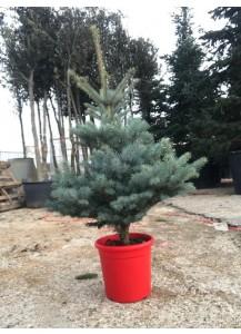"""Picea pungens """"Hoopsii"""""""