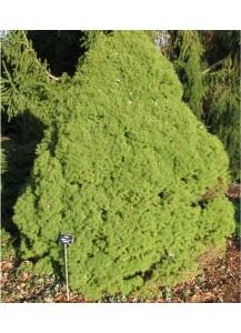 """Picea albertiana """"Conica"""""""