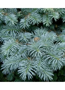 "Picea pungens ""Globosa"""