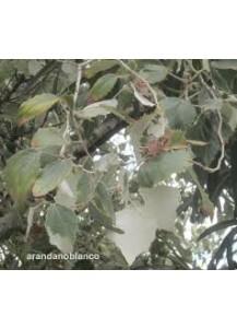 populus boleana(chopo)