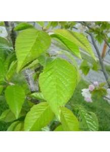 Prunus serrulata kanzan(flor rosa)