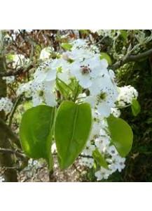 Pyrus calleryana (peral de flor)