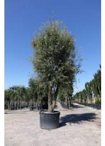 quercus ilex(encina arbol)