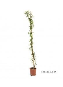 Rhynchospermum jasminoides (Jazmín)