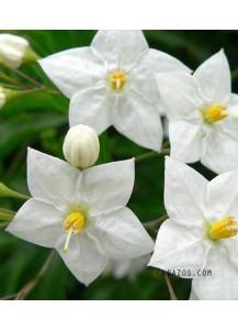 Solamun jasminoides (Falso Jazmín)